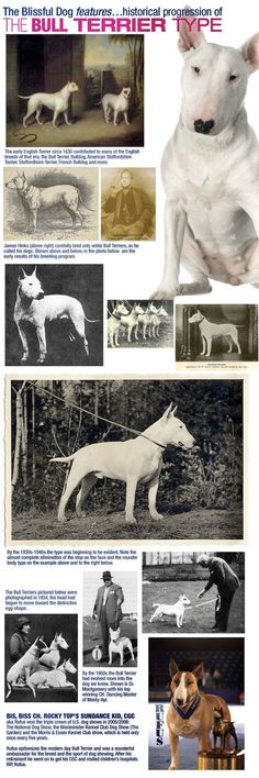 The Bull Terrier Has Evolved From A Leggy White Terrier Type To The Muscular Dog With The Swagger And Egg-Shaped Head In The Past 100 Years.