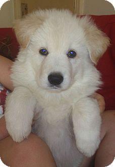 west hollywood, CA - Golden Retriever. Meet Goldie a Pet for Adoption. Golden Retriever Mix, Golden Retrievers, Golden Husky Mix, West Hollywood California, Cutest Dog Ever, Four Legged, Pet Adoption, Doggies, Cute Dogs