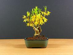 Forsythia shohin bonsai, Mar 2011 | Flickr: Intercambio de fotos