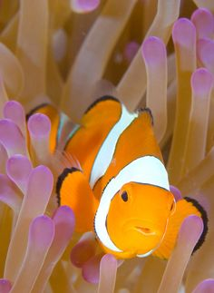 The picture is about a clown fish that is not affected by the sea anemone is mimics. While it eats the algae that is grown on the anemone.