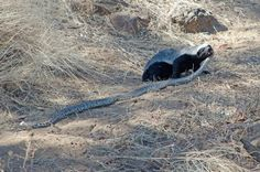 A honey badger takes on a two metre python in the Chobe, and wins! Wild Animals Pictures, Animal Pictures, Funny Pictures, Funny Pics, Honey Badger, Animal Facts, Little Critter, Save Animals, Hyena