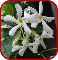 Consigli su come coltivare e prendersi cura della pianta Rincospermo, o Rincospermum conosciuta anche come Falso Gelsomino.