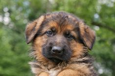 German Shepherd Puppy II Photograph by Sandy Keeton - German ...