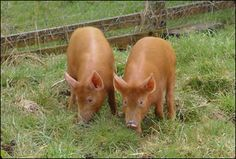 Pig Breed - Tamworth?