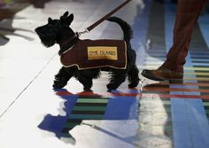 They led the teams of the Commonwealth Games, and they did it like champs! | 21 Reasons Scottish Terriers Are The Champions Of Our Heart