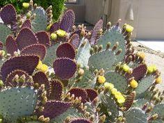 Botanical name: Opuntia santa-rita or Opuntia violacea santa-rita Common names: Santa Rita prickly pear, purple prickly pear Origin: Native ...