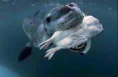leopard seal eating penguin Paul Nicklen