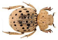 Omorgus (Omorgus) pastillarius (Blanchard, 1846)