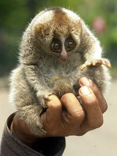 Slow Loris - such a cute little animal. sadly this adorable thing is endangered due to the high demand on the black market for these cute creatures.