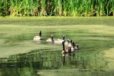 https://flic.kr/p/x4MVRT | Our Canada Geese family | Miners Marsh, Kentville, NS