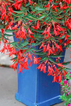 This elegant 'Bonfire' Begonia drips gracefully over a blue pot. Love the bold color combo. From Tesselaar Plants.
