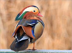 Aufgrund ihres auffälligen und wunderschönen Gefieders, findet man die Mandarinente Ente häufig bei den See- und Küstenvögeln im Zoo. Ursprünglich waren diese Vögel in Ostasien angesiedelt. Ob in freier Wildbahn oder im Tierpark – sie bilden ein atemberaubendes Motiv für ein Poster.
