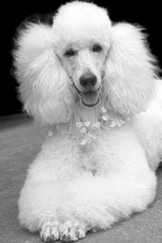 ♔ French poodle #poodle