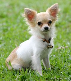 Discover the Chihuahua Dog breed. Learn about the origin, history, personality & care needs of Chihuahua dogs. Types Of Chihuahua, Chihuahua Love, Chihuahua Puppies, Cute Puppies, Cute Dogs, Dogs And Puppies, Happy Birthday Chihuahua, Dog Birthday, Rottweiler