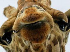 10 фактов о жирафах 📎 Сегодня узнаем несколько интересных фактов о жирафе кроме того, что это самое высокое наземное животное планеты.