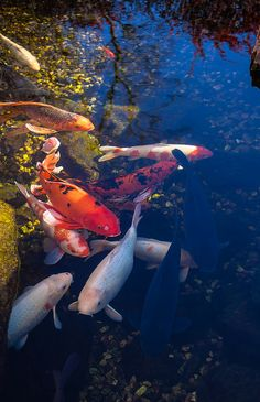 """Koi fish are the domesticated variety of common carp. Actually, the word """"koi"""" comes from the Japanese word that means """"carp"""". Outdoor koi ponds are relaxing. Koi Fish Pond, Fish Ponds, Koi Art, Fish Art, Betta, Koi Fish Colors, Animal Original, Fish Information, Pond Life"""