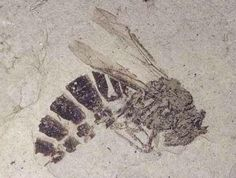 <<>^^<>> Fossil Bee <<>^^<>> <>about 35 million years ago<>