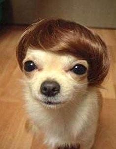 Classy chihuahua toupee.