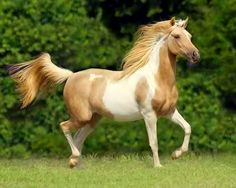 Fabulous Looking Palomino Paint.