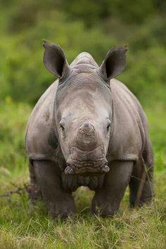 Baby rhino - Kariga Game Reserve, Eastern Cape