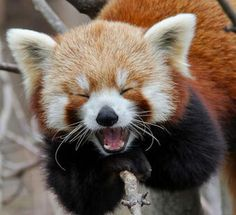 This red panda is absolutely delighted to see you.