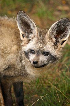 ~~Bat-Eared Fox by cs-cookie~~