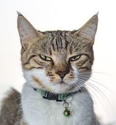 """The tabby cat is one of the most popular types of cats in America. They're also considered one of the most """"classic"""" looking domestic cats"""