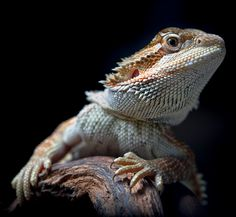 I'm watching you - This is my young bearded dragon (Sandfire Red). Only have 3 months .