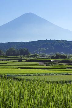 The Akita Prefecture produces 535,800 tons of rice a year. Only the choicest grains go into our #sake.