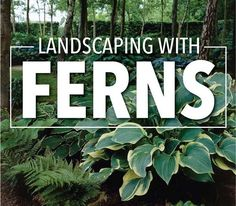 Ferns enhance the beauty of any shady garden or landscape. Learn how to plant and grow these hardy perennials, and which varieties are best.