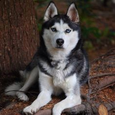 Beautiful Siberian Husky