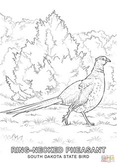 Ring Necked Pheasant Coloring Page From Pheasants Category Select 27115 Printable Crafts Of Cartoons Nature Animals Bible And Many More