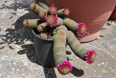 Mammillaria matudae. Thumb cactus. Central Mexico native. Ball/branching shape.