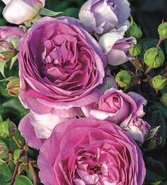 Pensasruusu Saphir Flowers, Plants, Sapphire, Lawn And Garden, Plant, Royal Icing Flowers, Flower, Florals, Floral