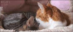 """mimi-the-cat: """" perros-y-gatos: """" Lebrel Ingles gif gif gifs that are funny cat kitten gif gif Funny Cats, Funny Animals, Cute Animals, Crazy Cat Lady, Crazy Cats, I Love Cats, Cool Cats, Funny Videos, Gifs Hilarious"""