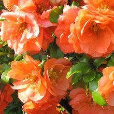 Très beau Cognassier a fleurs doubles !  'Cameo' est une très belle variété de Cognassier aux grandes fleurs doubles de couleur saumonnée. Issu d'une hybridation horticole, leCognassier 'Cameo' fait partie de la famille des rosacées. C'est un arbuste épineux à végétation plus ou moins étalée (hauteur: 1m envergure:1.2m). Son feuillage est caduc et la floraison s'étale sur les mois de mars à mai. Elle peut être légèrement remontante en été.