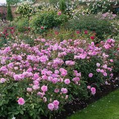 The Mayflower - English Roses