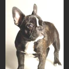 My future <3. French bulldog