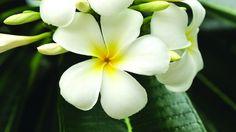 FRANGIPANE OU L'EXOTISME ENIVRANT    Symbole de pureté, la frangipane est une fleur tropicale au parfum enivrant. Portée en collier par les touristes ou disposée dans des vases remplis d'eau, cette fleur allie beauté et exotisme.