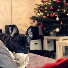 @paulthefrenchie enjoying some Christmas hijinks