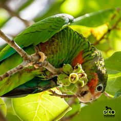 The sights and sounds of Cayman Parrots is like a breath of fresh air with everyday. #caymanparrots #ecoridescayman #letsride #grandcayman #caymanislands . . . #biketoursincaymanislands #thingstodocaymanislands #caymankind #ecotours #bicycletours #cyclingincaymanislands #cycling #exercise #beautifuldestinations #earthpix #lonleyplanet #instaphoto #instadaily #instagood #explore #nature #caribbean #islandlife #sand #sea #sunshine #parrots