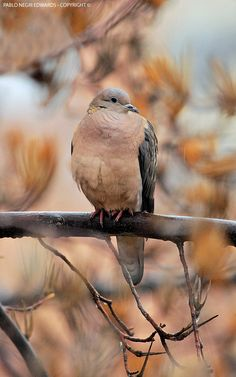 Eared Dove (Zenaida auriculata) in Santiago, Chile