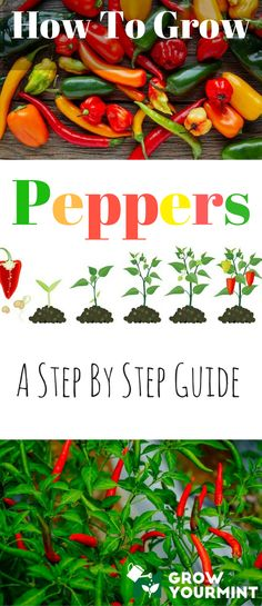 Learning how to grow peppers is not as difficult as it seems. Through this guide, I will show you that anything can be done with a bit of goodwill.
