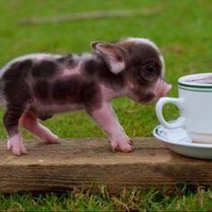 Teacup Pig ... Awww..<3 Baby Animals, Funny Animals, Cute Animals, Teacup Piglets, Baby Piglets, Cute Baby Pigs, Miniature Pigs, Mini Pigs, Pet Pigs