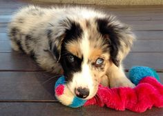 Rooster the Australian Shepherd. Beautiful coloring on this pup...
