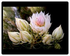 Blushing bride (Serruria florida) , closeup of inflorescence, Tasmania, Australia. Origin: South Africa.  Mousemat © Copyright Rob Walls/AUSCAPE All rights reserved Watermarking and Website Address do not appear on finished products Printed items are produced from higher quality original artwork