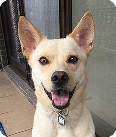 San Francisco, CA - Shiba Inu/Bernese Mountain Dog Mix. Meet Odie, a dog for adoption. http://www.adoptapet.com/pet/12564718-san-francisco-california-shiba-inu-mix