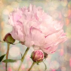 Nature photography Peony Flower Bud Pink Shabby chic