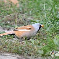 Bearded Reedling by Gerard Gorman Central And Eastern Europe, Bird Watching, Tours, Vacation, Adventure, Birds, Vacations, Holidays Music, Adventure Movies