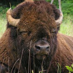 Study reveals impact of historical domestic cattle hybridization with American bison Bison Pictures, Buffalo Animal, Buffalo Art, Water Buffalo, White Bison, American Bison, All Gods Creatures, Animals Of The World, Fantastic Art